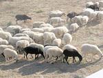 Eri puolilla saarta tapaa kuivaa heinää nakertavia lampaita.
